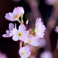 Photos: 切り花