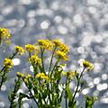 菜の花の季節