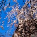 Photos: 石山観音枝垂れ桜3