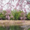 Photos: 枝垂れ桜と新緑