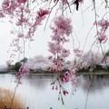 Photos: 波志江沼の桜