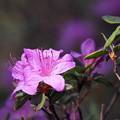 Photos: 紫の君