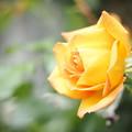 お隣のバラ