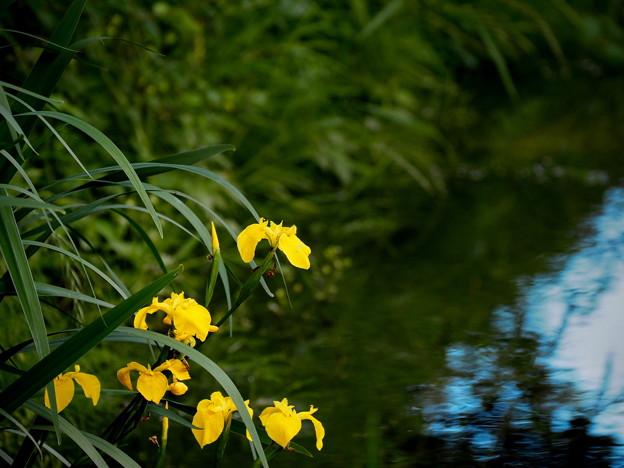 Photos: 水辺に咲く