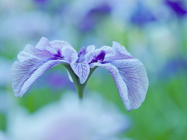 Photos: 爽やかに咲く