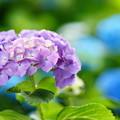 Photos: 艶やかに咲いて
