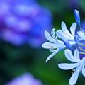 紫陽花と仲良く