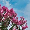 Photos: 夏空に映えて咲く