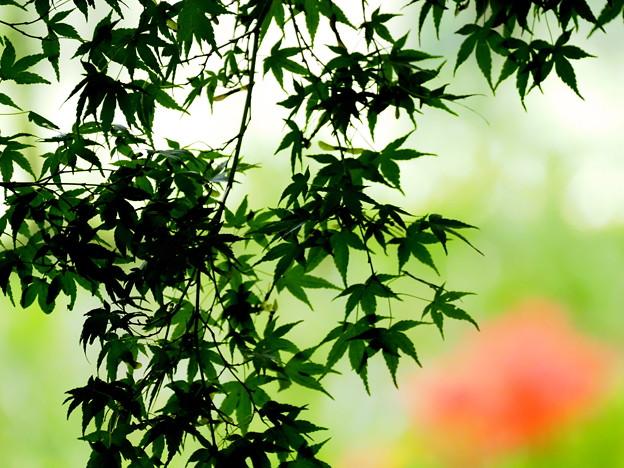 楓と彼岸花