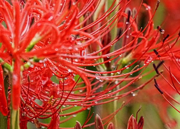 Photos: 雨後の花
