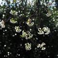 燦めく十月桜
