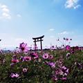 Photos: コスモス畑