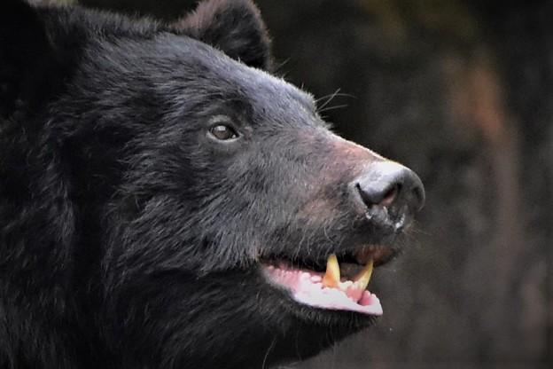 熊の牙は恐ろしい