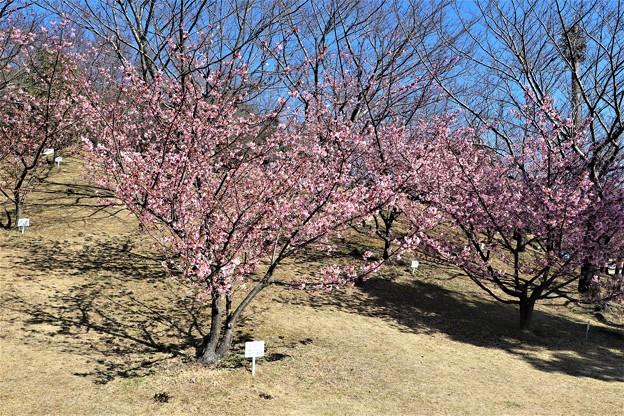 赤塚山河津桜
