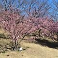 Photos: 赤塚山河津桜