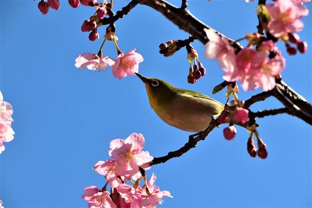 河津桜の蜜を吸いに来たメジロ