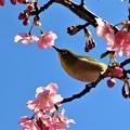Photos: 河津桜の蜜を吸いに来たメジロ