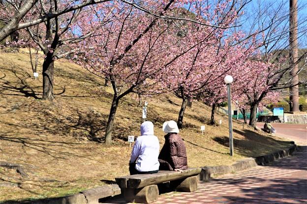 河津桜見物
