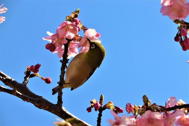 河津桜の蜜を吸うメジロ