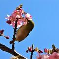 Photos: 河津桜の蜜を吸うメジロ