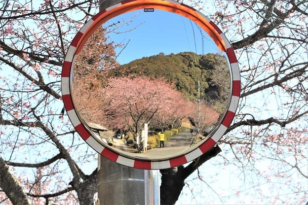 カーブミラーに映し出す河津桜トンネル