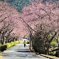 河津桜並木のトンネル