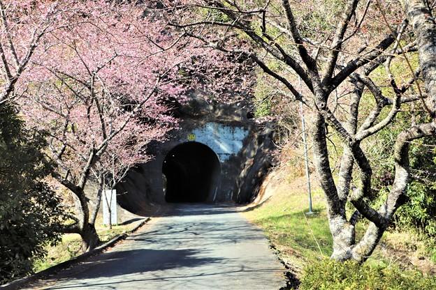 芳ヶ入トンネルと河津桜