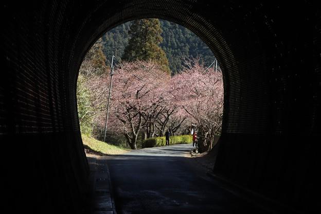 芳ヶ入トンネルからの河津桜トンネル