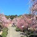 Photos: 昇竜しだれ梅庭園