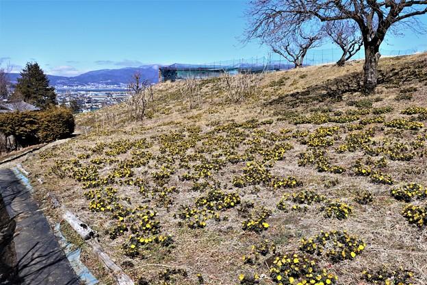 斜面に広がる福寿草