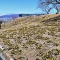 Photos: 斜面に広がる福寿草