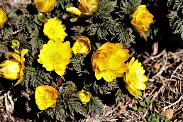 春を告げる福寿草