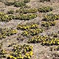 一面黄色の絨毯のよう