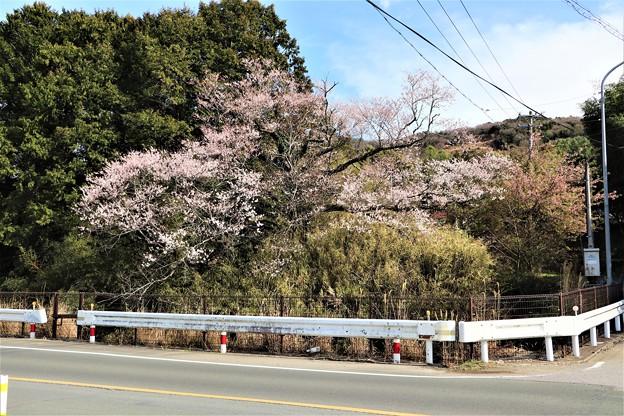 牟呂用水脇に咲く早咲き桜