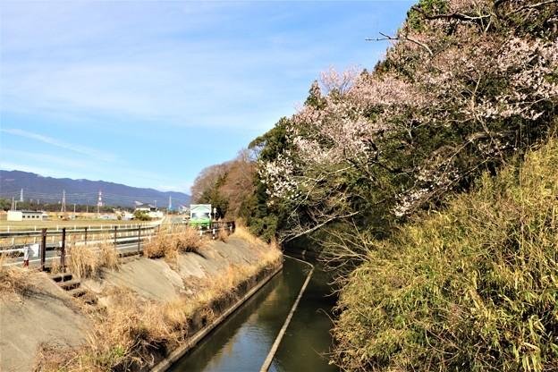 牟呂用水脇の早咲き桜