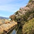 Photos: 牟呂用水脇の早咲き桜