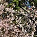 Photos: 早咲き桜