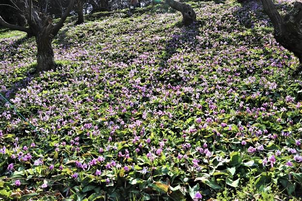 栗畑の斜面に咲くカタクリ