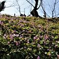 斜面に咲き誇るカタクリ