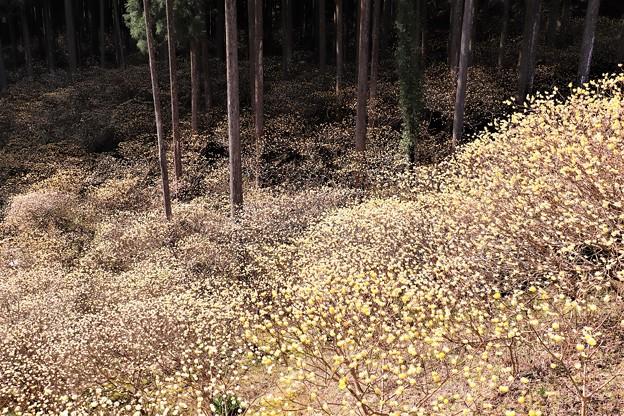 林の中のミツマタ群生