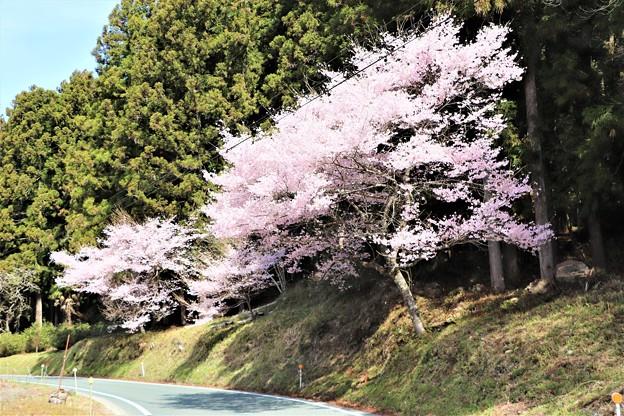 道路脇に咲く桜