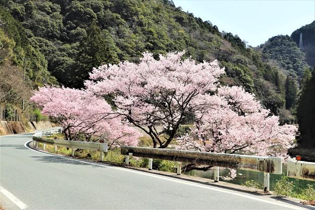 豊川沿いの桜