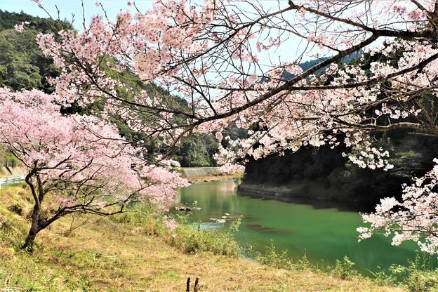 豊川沿いに咲く桜