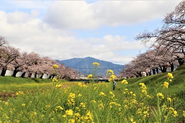 佐奈川堤の桜並木と菜の花と本宮山