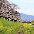 佐奈川堤の桜並木と菜の花