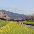 桜並木と菜の花絨毯