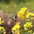 菜の花にアゲハ蝶