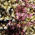 トキワマンサク白花・赤花