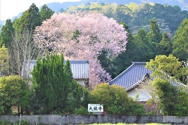 遠方からの大龍不動桜