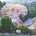 Photos: 遠方からの大龍不動桜